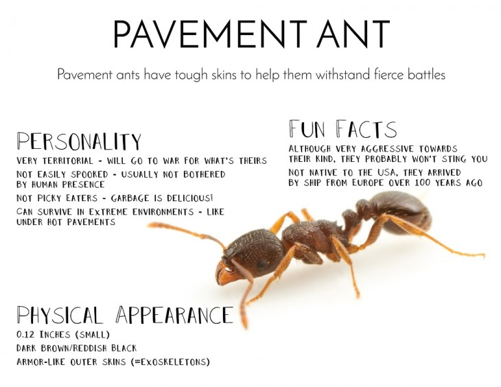 Pavement Ants Treatment Toronto Awesomepest